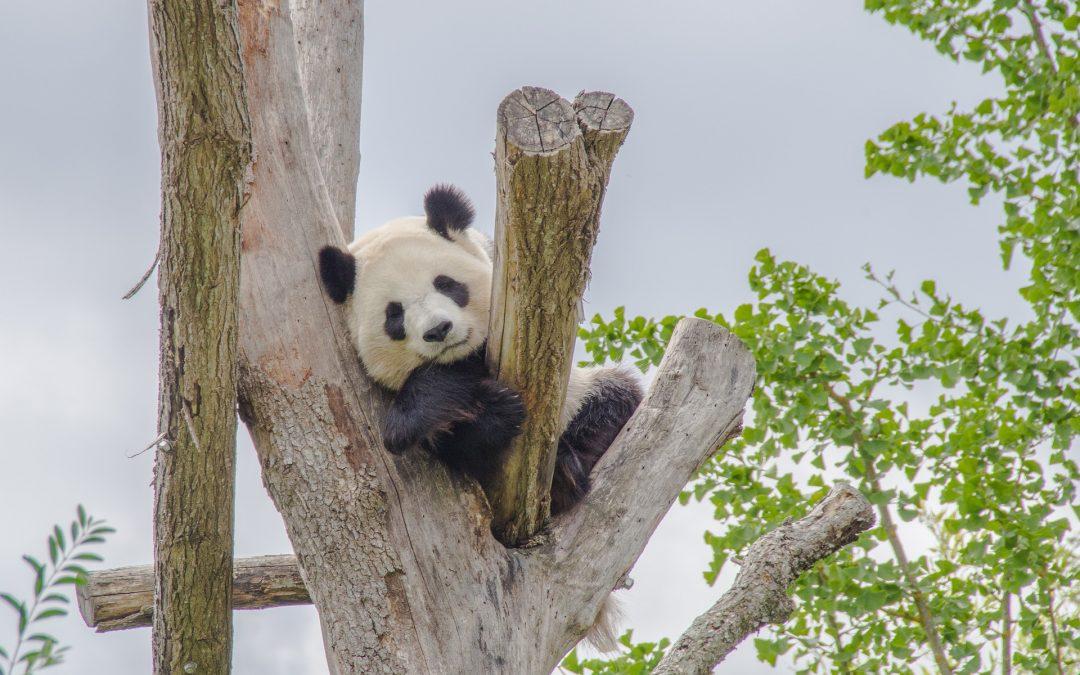 Panda, poep en drop.